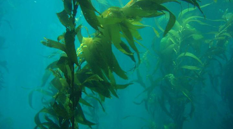Giant kelp (Macrocystis pyrifera). California, Channel Islands NMS. CREDIT Claire Fackler, CINMS, NOAA