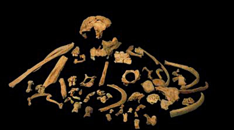 Skeletal remains of Homo antecessor CREDIT Prof. José María Bermúdez de Castro