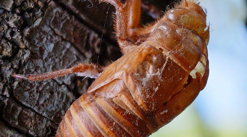 Cicada Animal Chantui The Cicada Shell Insect