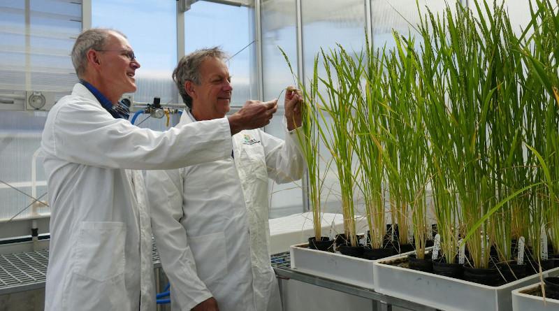 Professor Robert Furbank, CoETP Director and Professor John Evans, CoETP Chief investigator at the ANU glasshouses in Canberra, Australia CREDIT Natalia Bateman, ARC Centre of Excellence for Translational Photosynthesis