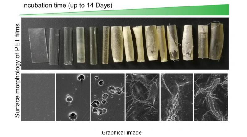 SEM analysis of PET films during biodegradation using C. thermocellum whole-cell biocatalyst at 60°C CREDIT LIU Yajun