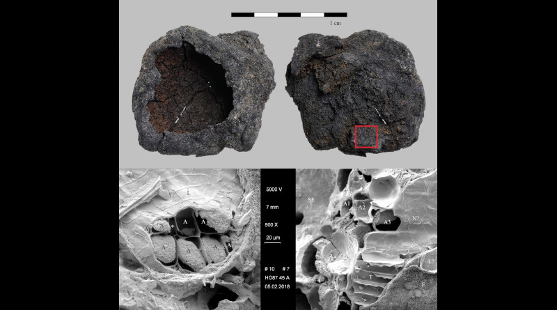 """The bowl-shaped charred cereal product (""""brei mit napfförmiger oberfläche"""") from Hornstaad--Hörnle IA. Find no. Ho 45/43-28. Top: light micrograph (red square: location of SEM subsample), bottom: SEM images. Left: patch of regularly arranged aleurone cells (A) with a conspicuous intercellular space (*) in between. L... longitudinal cells, right: fracture through the outer caryopsis layers, the multiple aleurone layers (A1 -A3) identify the material as cultivated barley (Hordeum vulgare) as do the thin-walled transverse cells (T). SE... starchy endosperm (fused remains), N? ... probably nucellus tissue, L?... probably longitudinal cells, E... epidermis (abraded).. Images: ÖAW-ÖAI / N. Gail (light micrograph), A. G. Heiss (SEM). CREDIT: Heiss et al, 2020 (PLOS ONE, CC BY)"""