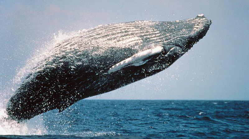 Humpback Whale Jumping Breaching Ocean Mammal