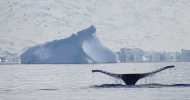Whale Antarctica Sea Nature Humpback Whales Snow