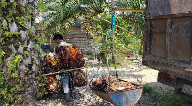 Around half of the palm oil used worldwide is produced by small farmers. Transport of the harvested oil palm fruits to a collection point in Indonesia. CREDIT: K T Sibhatu