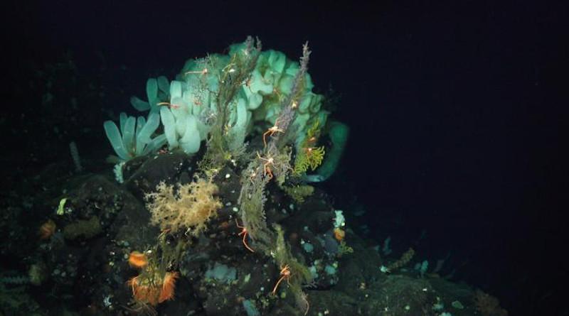 Life in the deep sea (>200m). CREDIT: Schmidt Ocean Institute