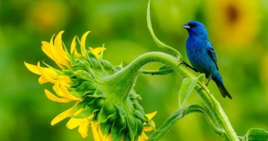 Neotropical migrants, such as this Indigo bunting (Passerina cyanea), have experienced massive population declines in recent years. Researcher Clark Rushing and colleagues at USGS wanted to know if climate change was responsible. CREDIT: Credit: Clark Rushing