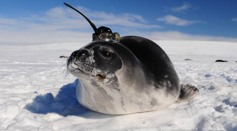 A Weddell seal collects data in the ocean while swimming. This information doesn't only help marine sciences researchers, but also biologist, to understand the seals' habitat better. (With permission: Dan Costa.)