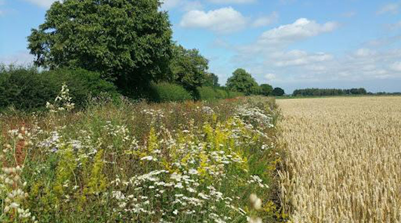 A wildflower-sown set-aside strip managed through an agri-environment scheme agreement. CREDIT: Katie Threadgill