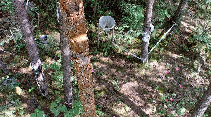 At a research site in the Pfyn Forest (canton of Valais), WSL scientists have been irrigating a number of forest plots since 2003. On some plots, the irrigation was stopped after 11 years. This long-term experiment provides perfect conditions for studying how trees adapt to dry and damp conditions. (Photo: Reinhard Lässig)