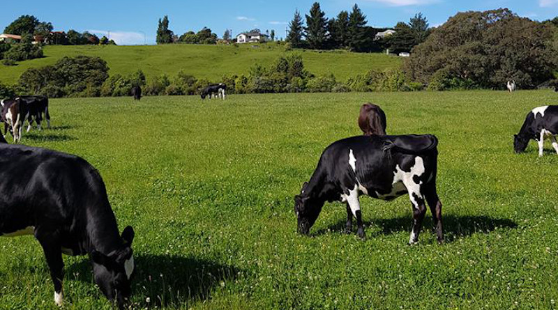 Dairy cows grazing clover/ryegrass pasture on a Massey University production farm. CREDIT: James Hanly