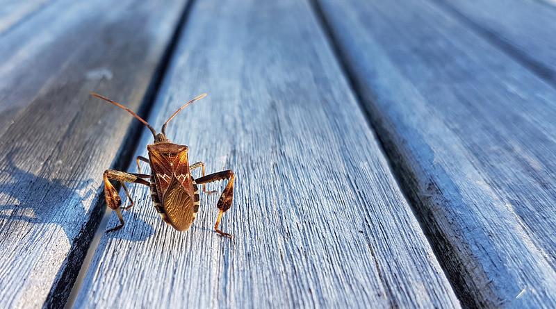 American Pine Bug Bug Beetle Insect Animal Nature