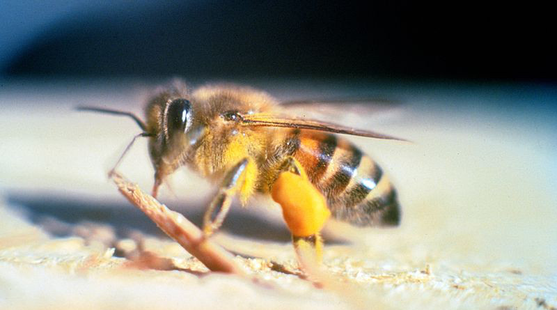 """An adult Apis mellifera scutellata """"Killer Bee"""" in Florida. Photo Credit: Jeffrey W. Lotz, Florida Department of Agriculture and Consumer Services, Bugwood.org"""