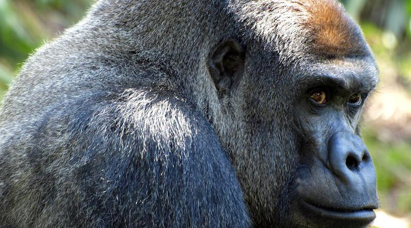 Gorilla Ape Animal Mammal Primate Silverback