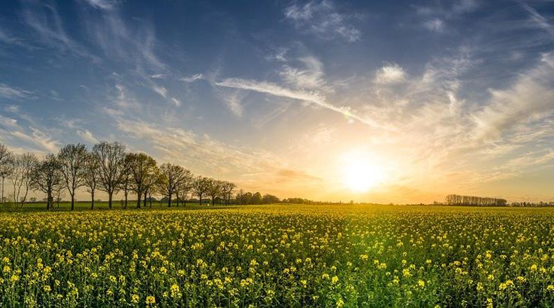 Oilseed Rape Field Of Rapeseeds Sunset Landscape