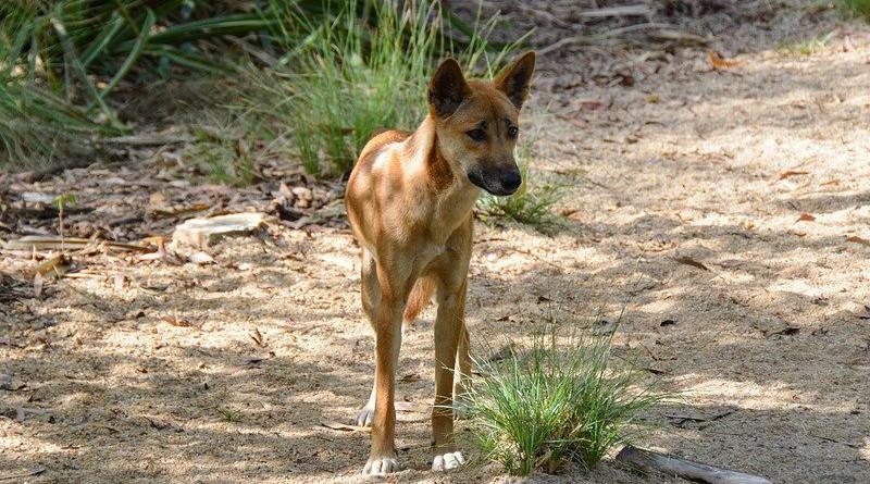 Dog Animal Wild Wildlife Australian Canine