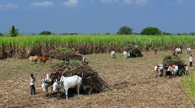 India Sugarcane Field Harvest Ox Cart Countryside Crop