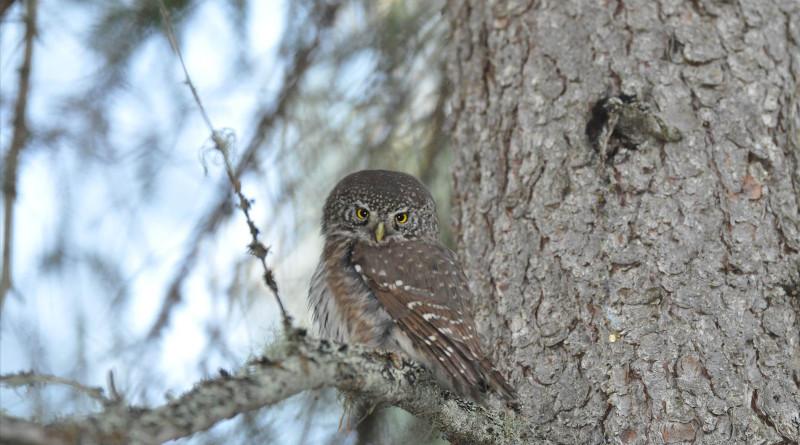Pygmy owls are small predators. Photo: Erkki Korpimäki