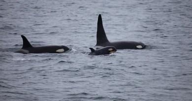 Killer Whales Orcas Pod Breaching Ocean Mammal