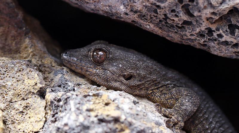 Lizard Rocks Eye Closeup Macro Tourism Gad