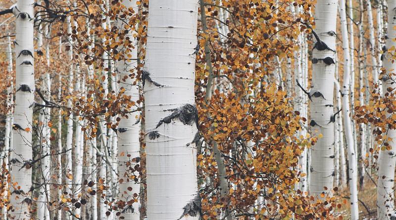 Aspen Tree Forest Nature Autumn Fall Leaf Season