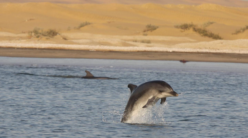 Namibia's common bottlenose dolphins, consisting of between 82 to 100 individuals, is the only inshore population of common bottlenose dolphins along the southern African coastline. Their range stretches from about 1000 km along the coastline between Möwe Bay to the north of Walvis Bay and Luderitz to the south. CREDIT: Dr Tess Gridley