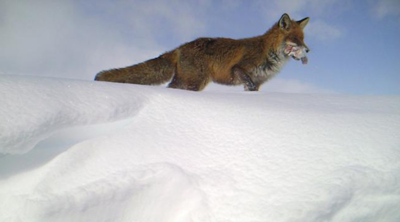 The density of red foxes is increasing in Norway's mountainous areas. The more trash and food waste red foxes have access to, the greater their numbers. This photo was taken with a game camera and shows a red fox that has found food. CREDIT: NINA, game camera