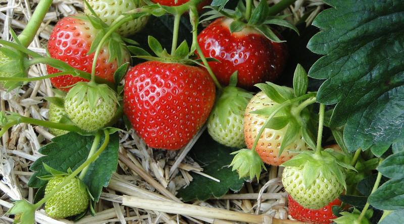 Strawberries Red Sweet Plant Field Straw Bedding