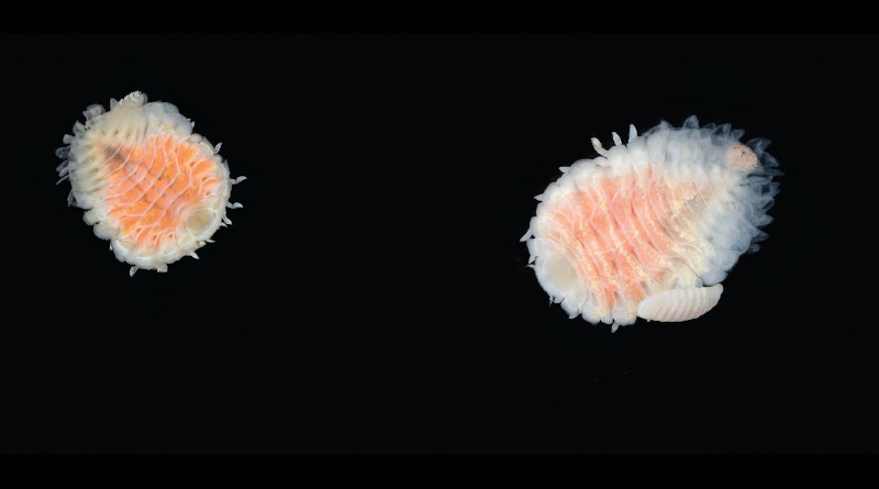 The cough drop-sized parasite Orthione griffenis, native to Asia and Russia, has decimated mud shrimp populations along the West Coast. The parasite on the right is a female with the much smaller male attached. CREDIT: Amanda Bemis and Gustav Paulay/Florida Museum