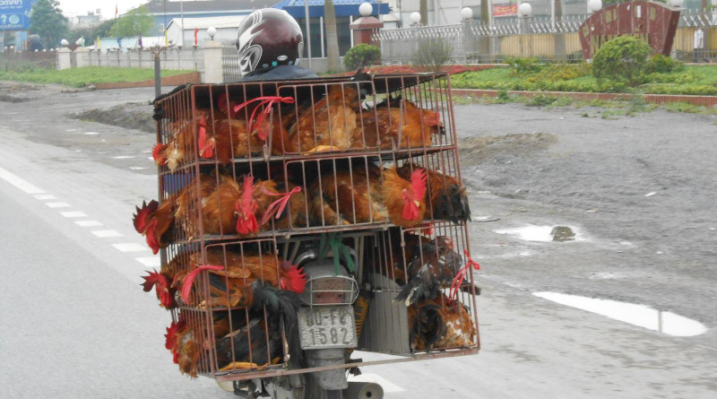 Small-scale poultry farmers in Vietnam tend to respond to viral outbreaks of highly pathogenic avian influenza (HPAI) by rapidly selling their birds as a way to avoid financial loss. CREDIT: Alexis Delabouglise, CIRAD/Penn State