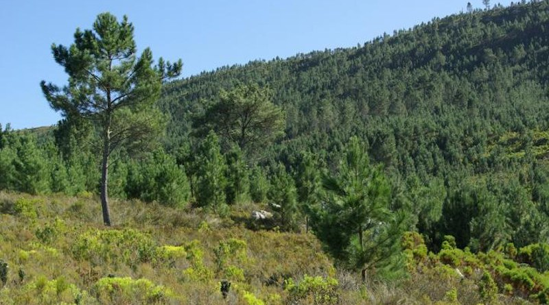 Pinus pinaster, one of many non-native trees that is highly invasive and causes major impacts in South Africa. The image shows a dense invasive stand of pines in the mountains of the Western Cape. CREDIT: Dave Richardson