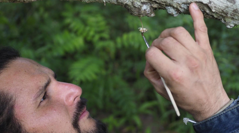 Manuel Toledo-Hernandez, first author and PhD student in Agroecology at the University of Göttingen, pollinating a cocoa flower by hand. CREDIT: M Toledo, University of Göttingen