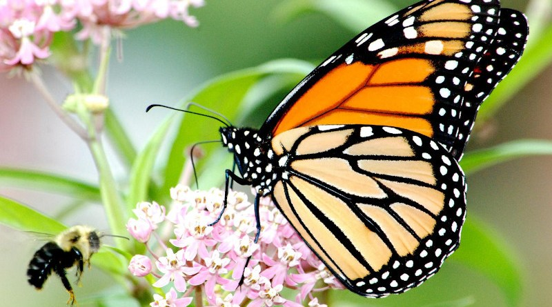 A monarch butterfly and a bee visit a milkweed plant. CREDIT: Jim Hudgins, U.S. Fish and Wildlife Service
