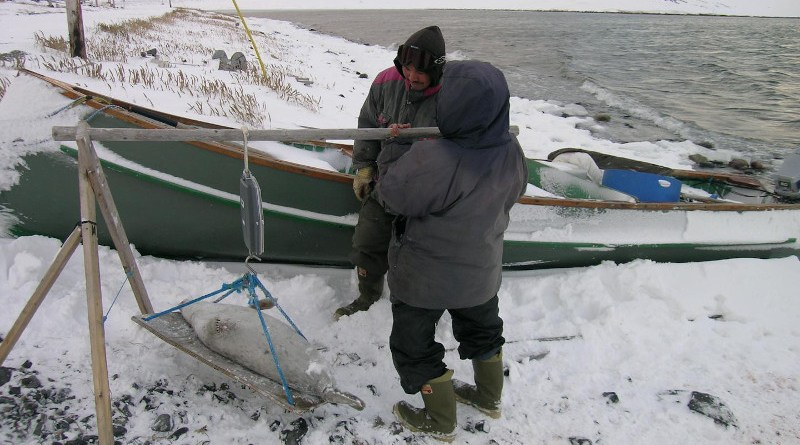 A study published in Environmental Toxicology and Chemistry spanning 45 years of testing indicates that mercury concentrations in ringed seals from the Canadian Arctic have remained stable, showing very limited declines over time. CREDIT: Magali Houde