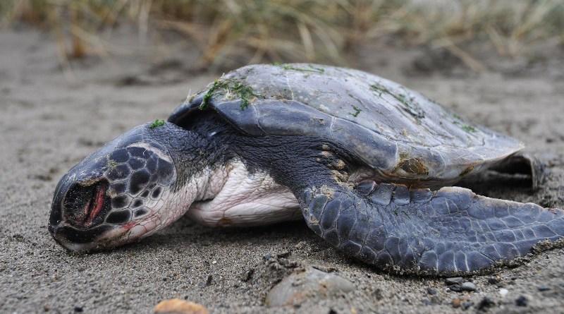 Green turtle CREDIT: Rod Penrose, MEM