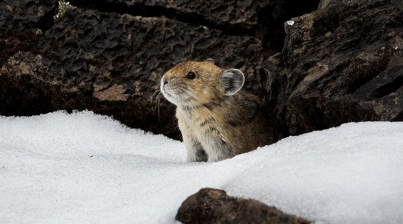 Animal Winter Snow Nature Cold Mammal Cute Pika