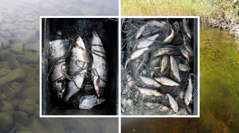 In northern lakes algal and fish biomass are increasing with temperature and productivity. At the same time, fish communities are changing from whitefish towards roach dominance. CREDIT: Kimmo Kahilainen & Brian Hayden