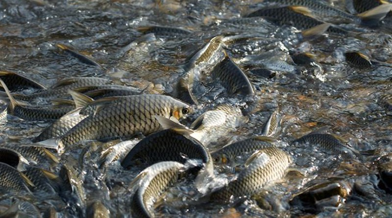 Spawning events along the Mae Ngao River one branch of the Salween River Basin in northern Thailand occur in January. Even though some of the reserves are small in size, the fish seem to live their entire life cycles there. CREDIT: Photo courtesy of University of Nevada, Reno.