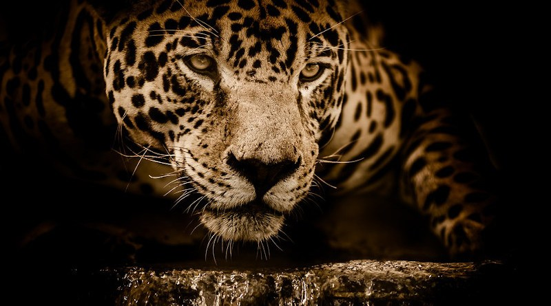 jaguar wild cat