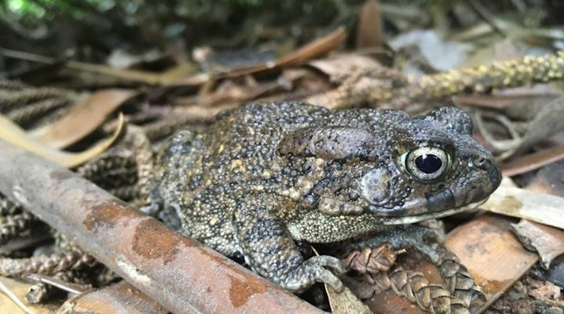 Guttural Toads, native to mainland Africa, were deliberately introduced from Durban to Mauritius in 1922 in an attempt to biocontrol the cane beetle, and from there moved to Réunion in 1927 as a biocontrol of malaria-carrying mosquitoes. CREDIT: James Baxter-Gilbert