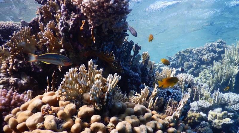 Corals in the Gulf of Aqaba in the Red Sea CREDIT: Credit: Maoz Fine
