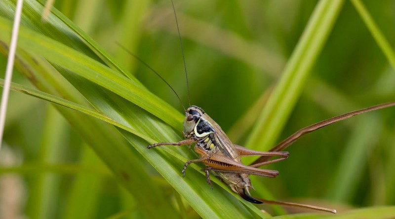 Roesel's bush-cricket is one of the many grasshoppers that might migrate to higher elevations once the climate in lower elevations has become unsuitable. CREDIT Photograph: Christian Roesti
