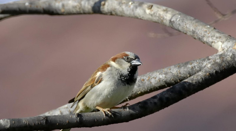 Male European House Sparrow. CREDIT Donald Metzner, courtesy Cornell Lab of Ornithology.