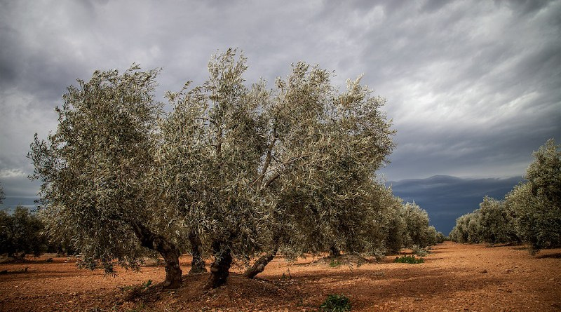 Agriculture Farm Tree Spain Olive