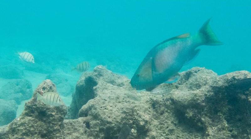 A large parrotfish scrapes algae from a Hawaiian reef. CREDIT Noam Altman-Kurosaki