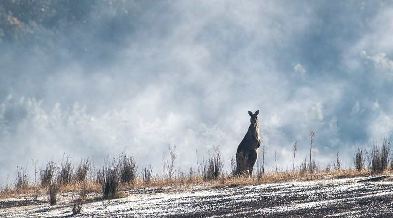 Eastern Grey Kangaroo Australian Australia Wildlife