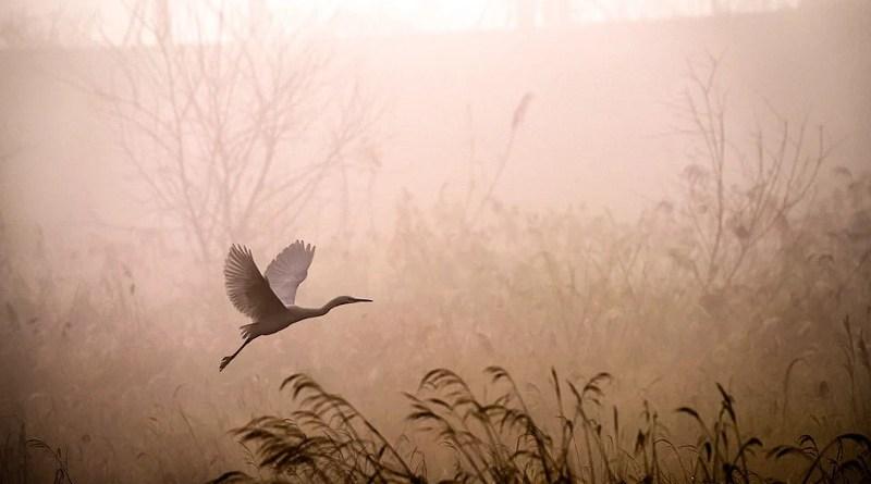 morning bird fog Egret Flying Fog Dawn Sunrise Grass Reed Heron
