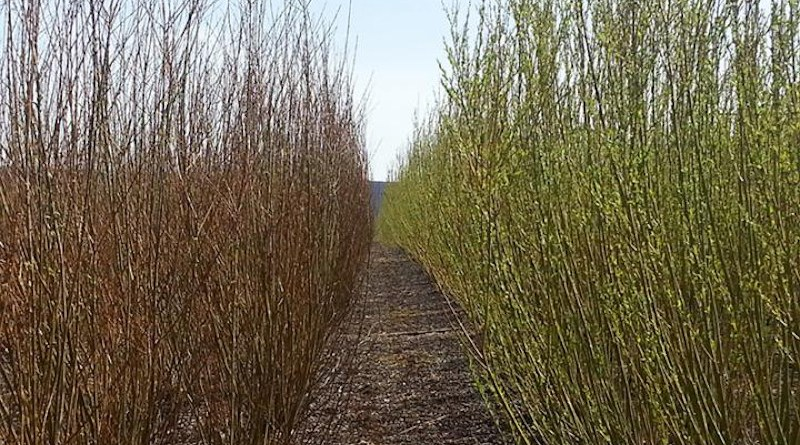 Two types of shrub willow: Fabius (left) and Preble (right). The willow shoots are one year old; the crowns five years old. CREDIT Armen Kemanian
