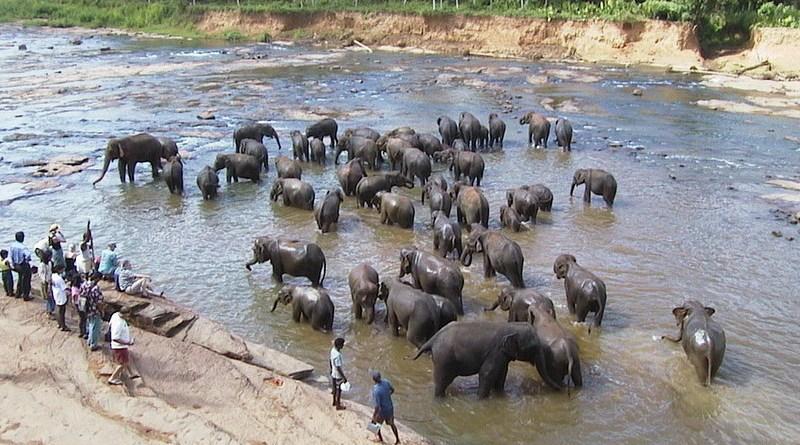 Elephants in Pinnawella, Sri Lanka