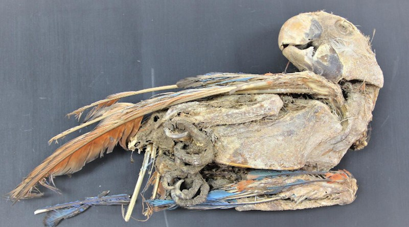 Mummified scarlet macaw recovered from Pica 8 in northern Chile. Calogero Santoro and José Capriles. CREDIT Calogero Santoro, Universidad de Tarapacá, and José Capriles, Penn State